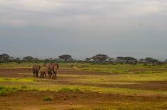 Drei Elefanten in der Savannenwiese an Amboseli-Park Stockbild
