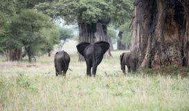 Drei Elefanten in einer Familien-Gruppe in üppigen Tansania gestalten w landschaftlich Lizenzfreies Stockbild