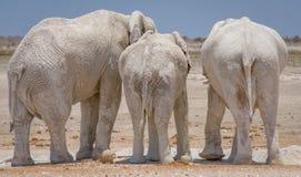 Drei Elefanten in Etosha NP, Namibia lizenzfreies stockfoto