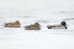 Drei Enten auf einer Reihe Lizenzfreie Stockbilder