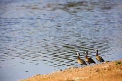 Drei Enten auf einer Reihe Stockbilder