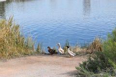 Drei Enten auf einer Reihe Lizenzfreies Stockbild