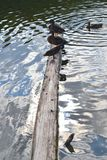 Drei Enten auf Hälfte des hölzernen Strahls versenkt in metallisches Wasser stockfotografie