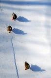 Drei Enten, die auf Schnee mit Schatten gehen Stockfoto