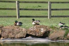 Drei Enten, die durch Strom stillstehen Lizenzfreie Stockfotos