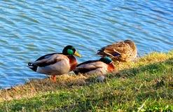 Drei Enten durch den See lizenzfreies stockbild
