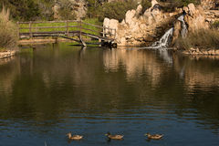 Drei Enten in einem Teich Lizenzfreies Stockfoto