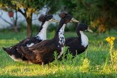 Drei Enten fallen in Rang Stockfotos