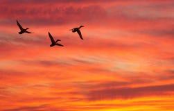 Drei Enten fliegen gegen Abnahme Lizenzfreie Stockbilder