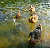 Drei Enten und ein kleines  Lizenzfreies Stockbild