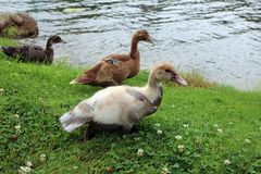 Drei Entlein-Spiel auf dem Gras nahe dem Teich lizenzfreies stockbild