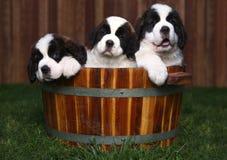Drei entzückende Bernhardiner-Welpen in einem Faß Lizenzfreies Stockfoto