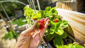 Drei Erdbeeren sind in der Hand besser als auf dem Busch Stockfoto
