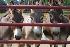Drei Esel hinter einem Tor Lizenzfreies Stockbild
