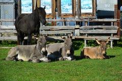 Drei Esel und Pferd aalen sich in der Sonne Lizenzfreie Stockfotografie