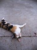 Drei farbige Cat Lying Supine Lizenzfreie Stockfotos