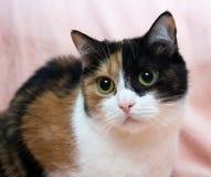 Drei farbige Katze Lizenzfreies Stockfoto