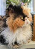 Drei-farbige Katze der persischen Zucht an einem Fenster Lizenzfreie Stockbilder