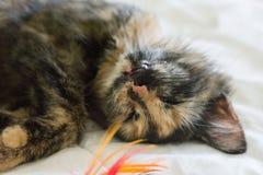 Drei farbige Katze, die auf weißer Decke schläft Lizenzfreie Stockbilder