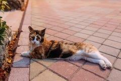 Drei-farbige Katze liegt auf dem Bürgersteig stockfotos