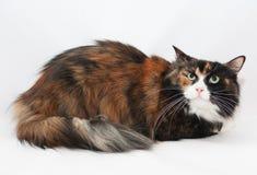 Drei-farbige Katzenohren gedrückt Stockbild
