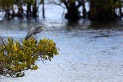 Drei-farbiger Reiher, der auf einem Busch über einem Sumpf steht stockbild