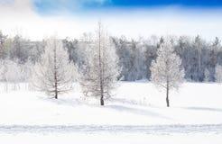 Drei Fichten bedeckt mit Schnee im Winter stockfoto