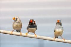 Drei Finkvögel an der Niederlassung reizende bunte inländische Haustiervögel stockbild
