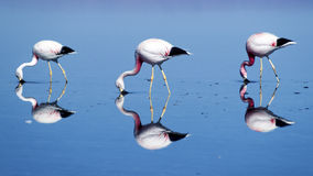 Drei Flamingos Lizenzfreies Stockfoto