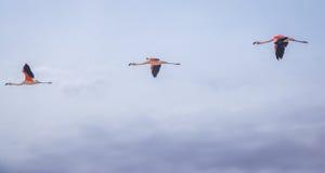 Drei Flamingos, die in Folge fliegen Lizenzfreie Stockfotos