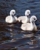 Drei flaumige weiße Cygnets Lizenzfreie Stockfotografie