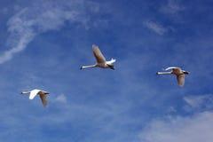 Drei fliegende weiße Schwäne stockfotografie