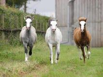 Drei Fohlen stockbild