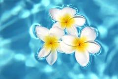 Drei Frangipanis auf Swimmingpool Lizenzfreies Stockfoto
