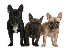Drei französische Bulldoggen, 8 Monate, 23 Monate Stockbild