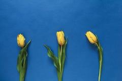 Drei frische gelbe Tulpen Stockfoto