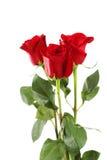 Drei frische rote Rosen auf weißem Hintergrund, Abschluss oben Stockfotos