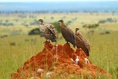 Drei Geier, die auf einem Felsen sitzen Stockfotografie