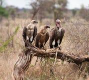 Drei Geier, die auf Zweig sitzen Lizenzfreies Stockbild