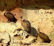 Drei Geier in Folge stockfotografie