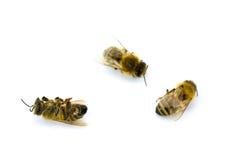Drei gelb und schwarze Bienen Lizenzfreies Stockbild