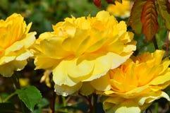 Drei gelbe Blumen Lizenzfreies Stockfoto