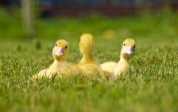 Drei gelbe Enten stockfoto