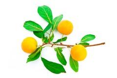 Drei gelbe Pflaumen auf einem Zweig Lizenzfreies Stockbild