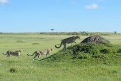 Drei Gepard Acinonix-jubatus zusammen auf Hügel Lizenzfreies Stockfoto