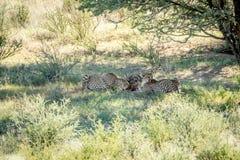 Drei Geparde auf einer Springbocktötung Stockfotografie