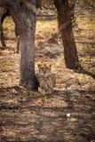 Drei Geparde, die unter Bäume liegen Stockbild