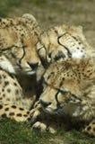 Drei Geparden, die sich waschen Stockfotografie