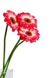Drei Gerbera-Blumen stockfoto