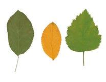 Drei getrocknete Blätter von verschiedenen Anlagen Stockbilder